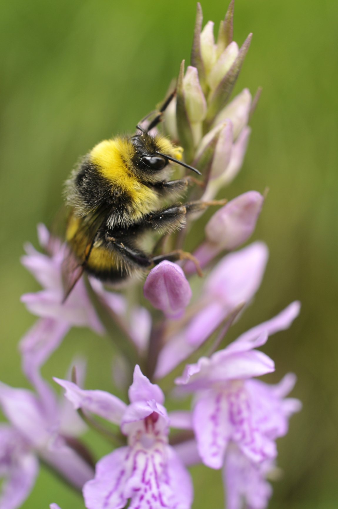 Bumblebees – biology of the family and their significance for environment